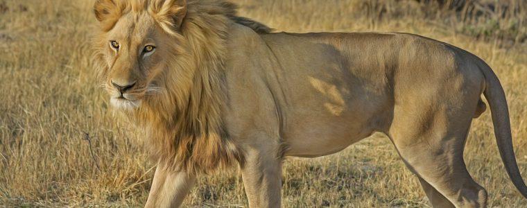 Story of Sa`id ibn Jubair and the Lion